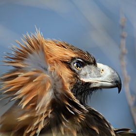 Young wedge tailed eagle not quite ready to fly.Magnificent!