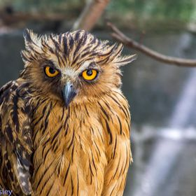 Owl with great piercing eyes