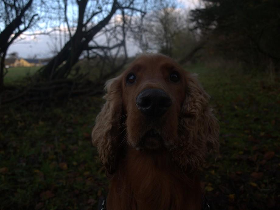 My cocker spaniel, Wattson, says hi :)