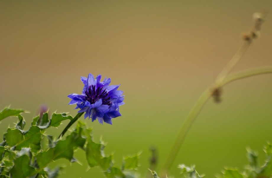 A Cornflower growing from out of a holly bush.