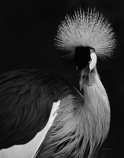 East_African_Crowned_Crane_1114