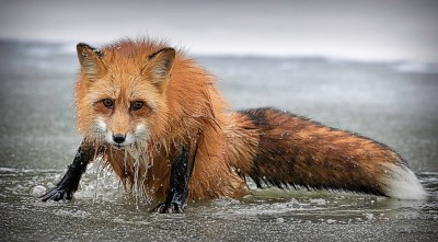 Red_Fox_coming_out_of_the_water_03