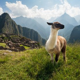 A young llama overlooking the ancient city of Machu Picchu, Peru