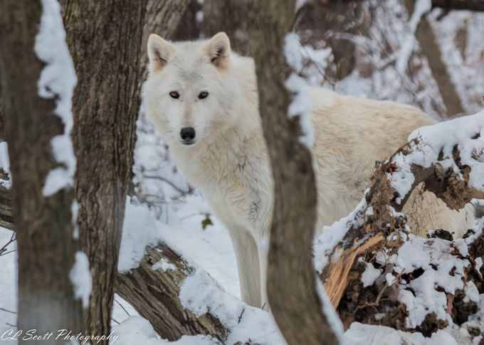 White Wolf by micmac1007 - Hiding Photo Contest