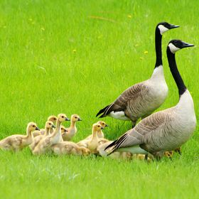 Two adult Canada Geese with a gaggle of goslings crossing a field of grass in Winnipeg, Manitoba, Canada