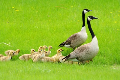 Two Adult Canada Geese with a Gaggle of Goslings