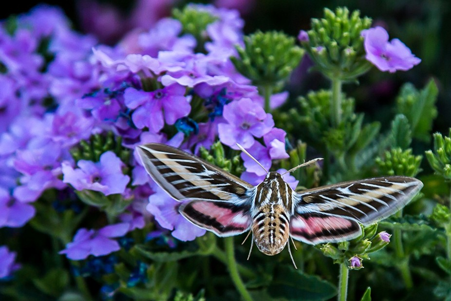 Sphinx Moth sometimes referred to as a Hummingbird Moth.  I captured this photo in a local nurser...
