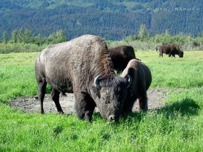 Wild life in Alaska