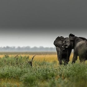 Two bull African elephants competing each other in the Savute plains, Okavango Delta, Botswana.