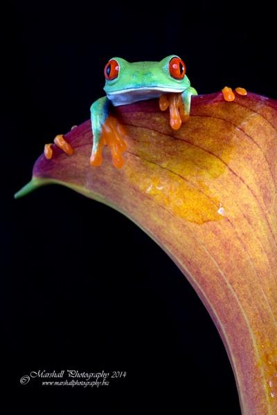 Red Eyed Tree Frog-IMG_5104
