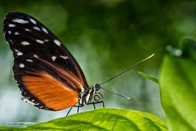 Golden Longwing