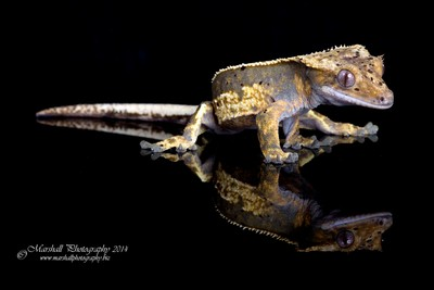 Crested Gecko-IMG_5091