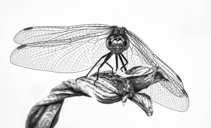 black and white dragonfly by rachaellivingstone - Textures In Black And White Photo Contest