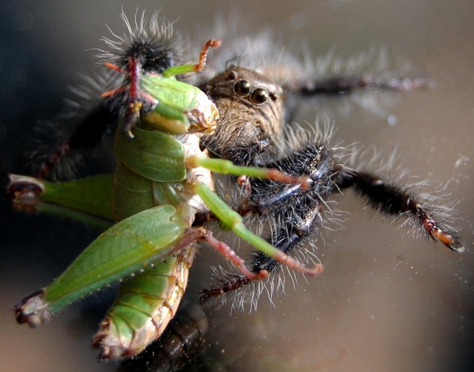 Jumping Spider with breakfast