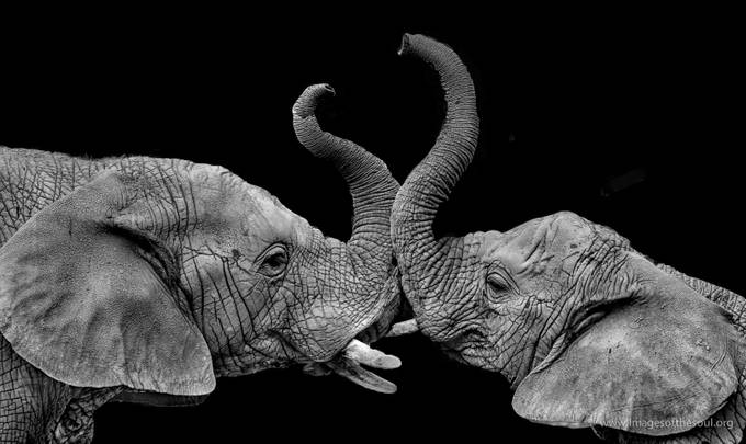 Dueling Trunks by jrfleury - Textures In Black And White Photo Contest