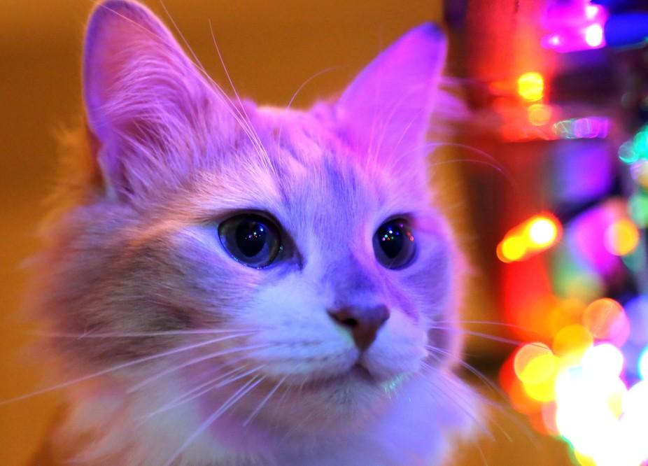 Kitten looking at Christmas lights
