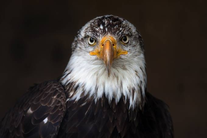 Bald Eagle by JimCumming - Just Eagles Photo Contest