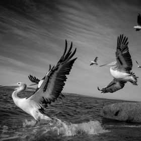 Pelicans taking flight in Port Lincoln, South Australia