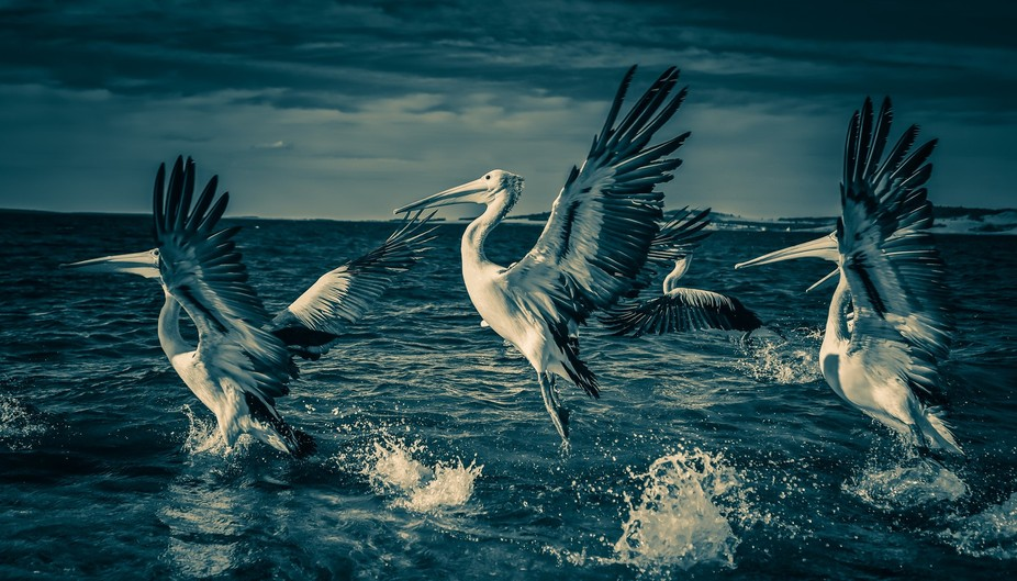 Pelicans taking to flight in Port Lincoln, South Australia