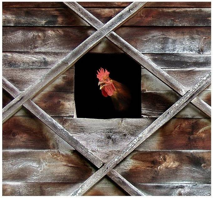 cHICKEN kING by nikosladic - Composing with Diagonals Photo Contest