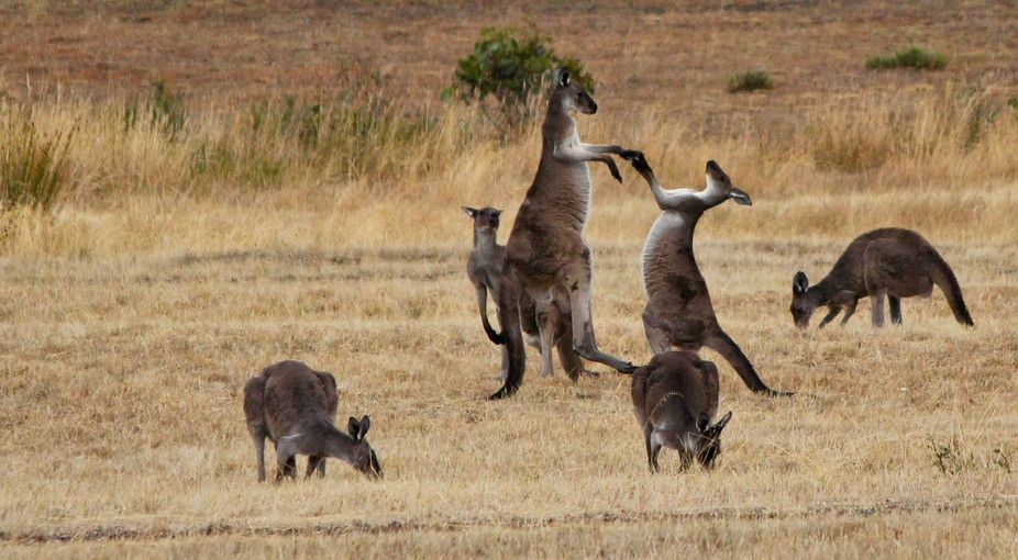 Every year the male kangaroo\'s sort out who is going to be \'boss\' and so we have this wonderful b...