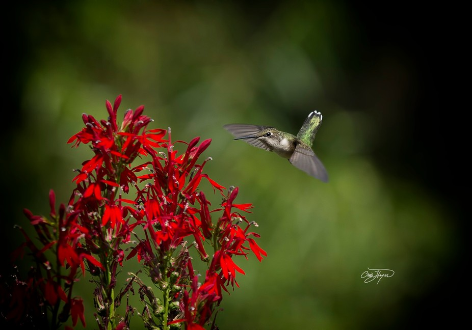 Hummingbirds cannot resist the Cardinal Flower. The will come from miles around to feed on this f...