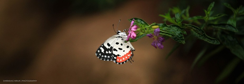 White_Crimson Dual Color Butterfly