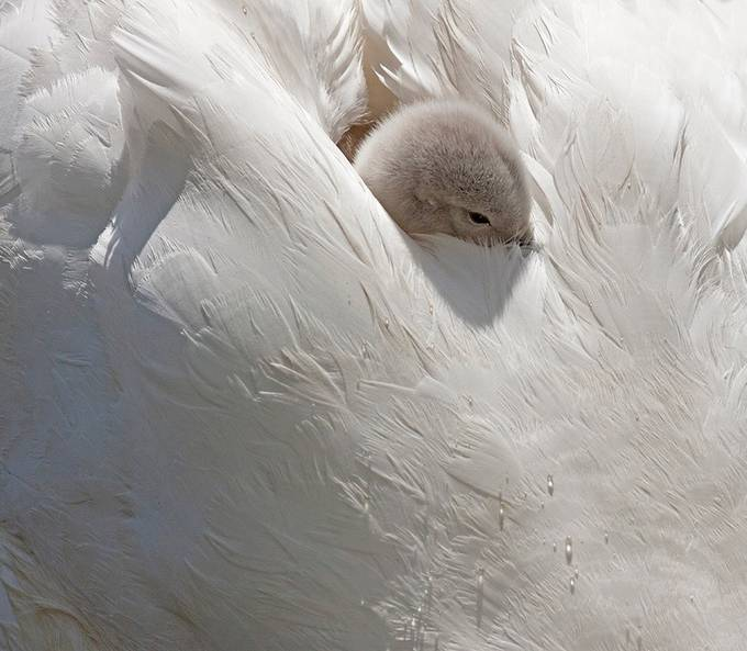 Cygnet amongst the feathers of Mum by hibbz - Hiding Photo Contest
