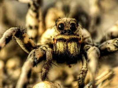 Spider, Karan Island, Saudi Arabia