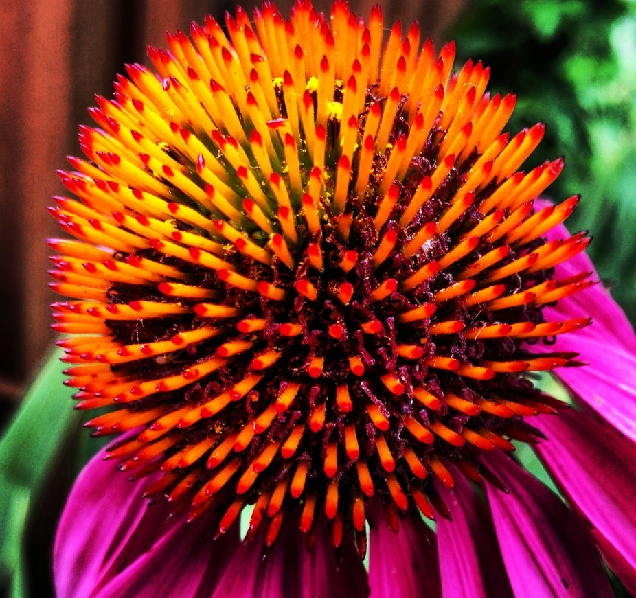 I see these flowers every summer, but this one that popped up in my sister\'s backyard was the big...
