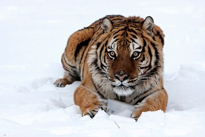 Siberian tiger lying in snow