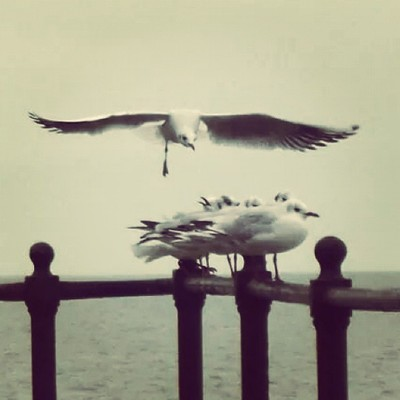 #seagulls #Isle of Wight #landing