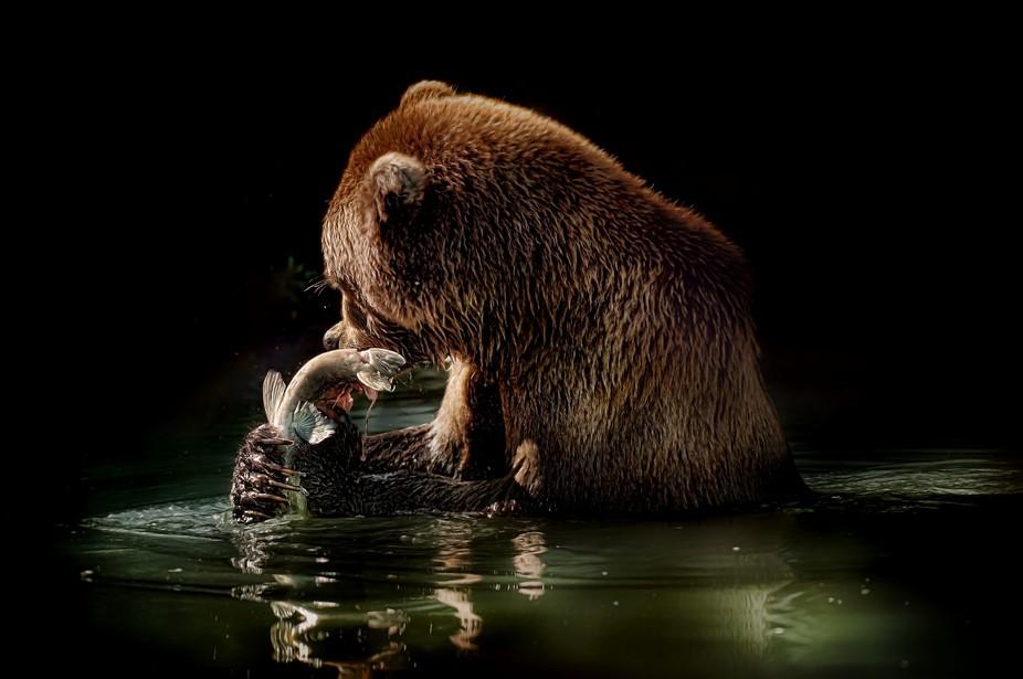 Alaskan brown bear having Salmon for dinner
