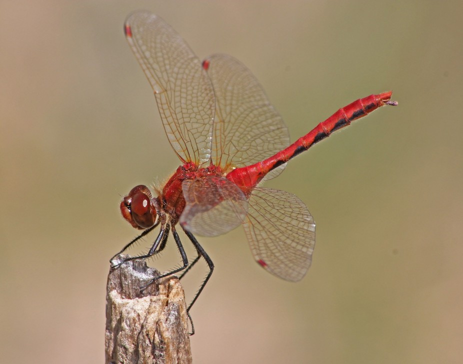 This is a red veined meadowhawk, a small dragonfly which commonly perches on twigs and grass stem...