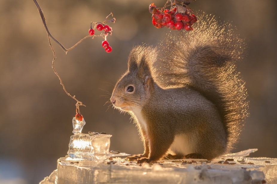 squirrel standing on ice with sun behind and berries above