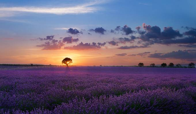 Lonely tree in valensole by paolobubu - Bright And Colorful Photo Contest