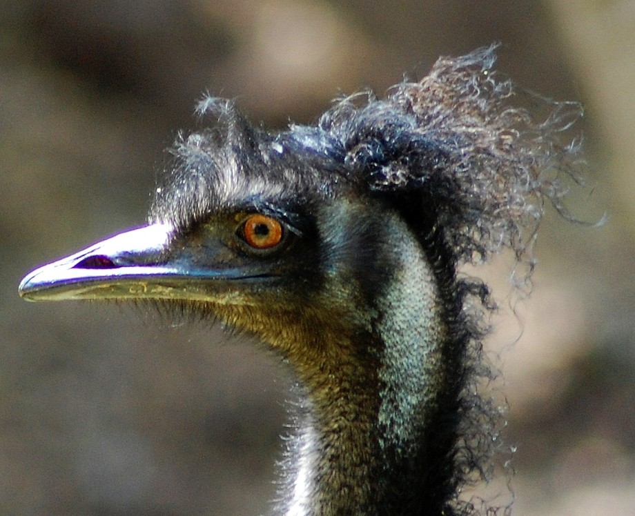 Emu with funky hairstyle