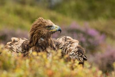 Golden_Eagle_3