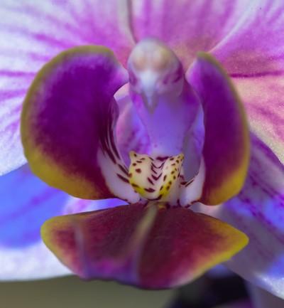 Little Kolibri Orchid.