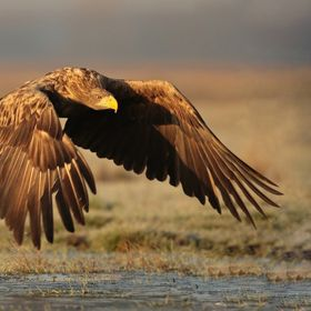 White Tailed Fish Eagle, Hortobagy National Park, Hungary