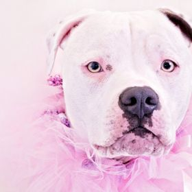 Pit Bull Portrait In Pink