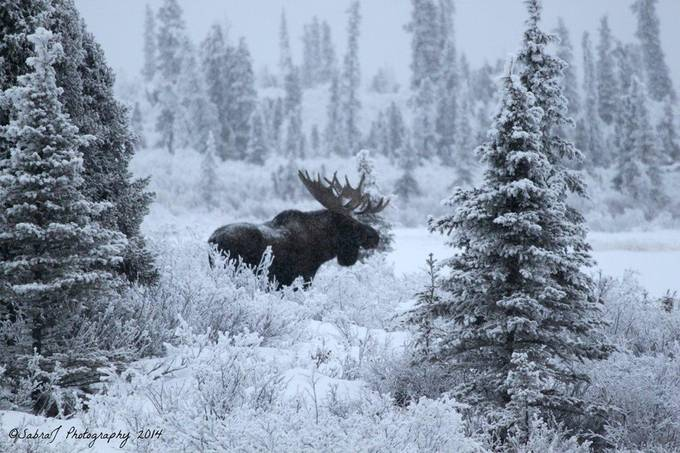 His Majesty by JadeRiver - Alaska The Wild Photo Contest