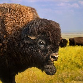 Belligerent Bison