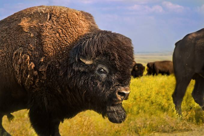 Belligerent Bison by tracymunson - Large Photo Contest