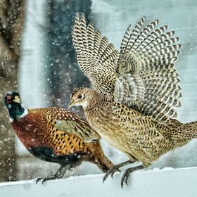 Two pheasants, male and female, enjoying themselves in the snow.