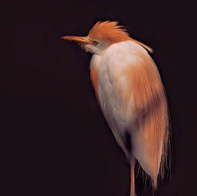 Portrait of a Cattle Egret