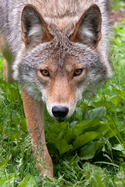 The Hunter - Coyote