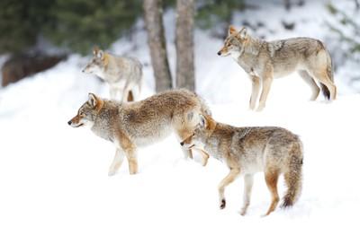 Pack Alert - Coyotes
