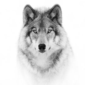 Wolf Portrait in B&W