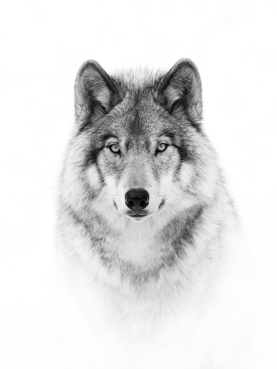 Wolf Portrait in B&W by JimCumming - Black And White Wow Factor Photo Contest